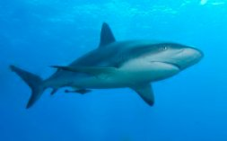 tiburon-arrecife-caribe