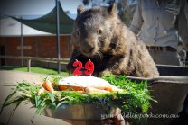 patrick the oldest and largest living wombat (3)