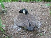 Nesting at Longwood